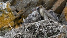 falcons nest notes - 1200×675