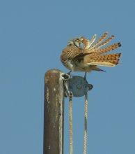 Female kestrel preening in high wind